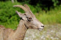 Moutons de Big Horn en Rocky Mountains Images libres de droits