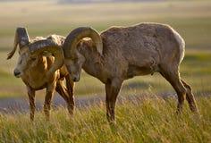 Moutons de Bighorn dans l'amour Photos libres de droits