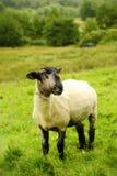 Moutons de Blackface dans un domaine Photo stock