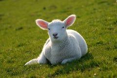 Moutons de chéri image libre de droits