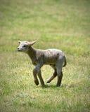 Moutons de chéri Photo libre de droits