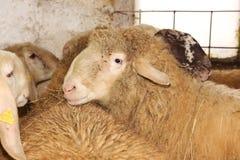 Moutons de cisaillement de laine pour des fils de laine Image stock