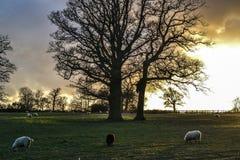 Moutons de coucher du soleil Images libres de droits