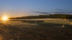 Moutons de coucher du soleil Image libre de droits