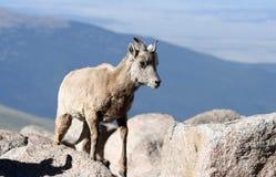 Moutons de dal Photographie stock libre de droits