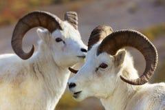 Moutons de Dall Alaska Image libre de droits