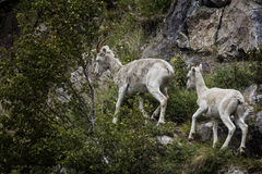 Moutons de Dall Alaska Photo stock