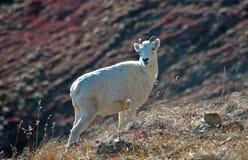 Moutons de Dall de brebis images libres de droits