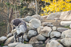 Moutons de Dall rayant l'oreille Images stock