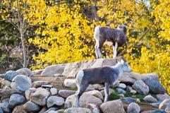 Moutons de Dall recueillis sur Rocky Outcrop Photographie stock libre de droits