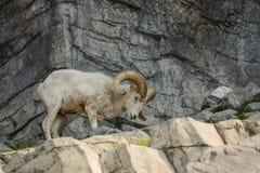 Moutons de Dall sur le terraine de roche Photo stock