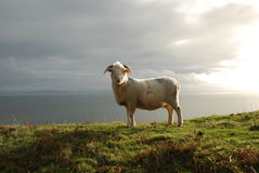 moutons de falaise Photo libre de droits