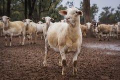 Moutons de ferme chez le Queensland, Australie Images libres de droits