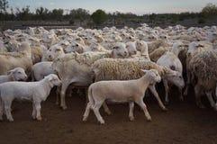 Moutons de ferme chez le Queensland, Australie Photos libres de droits