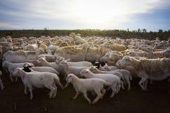 Moutons de ferme chez le Queensland, Australie Photo libre de droits
