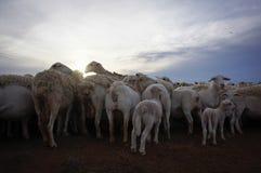Moutons de ferme chez le Queensland, Australie Photo stock