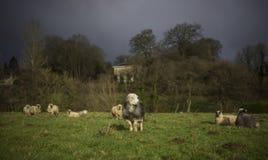 Moutons de Herdwick Image libre de droits