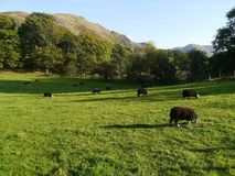 Moutons de Herdwick frôlant fin de soirée Photographie stock libre de droits