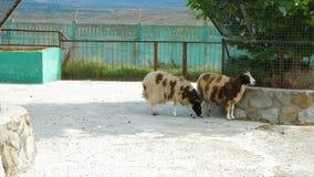 Moutons de Jacob dans le zoo clips vidéos