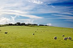 moutons de l'Ecosse Photos libres de droits