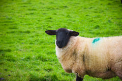 Moutons de l'Irlande Photos stock