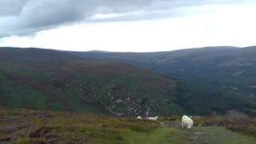 Moutons de la montagne images stock