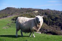 Moutons de la Nouvelle Zélande Images stock