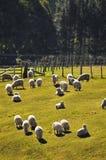 Moutons de la Nouvelle Zélande Photos libres de droits