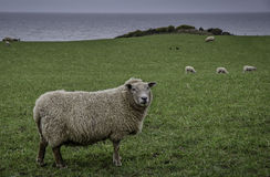 Moutons de la Région des lacs Photos stock
