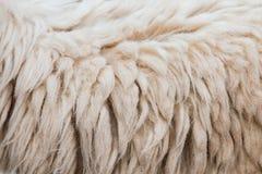 Moutons de laine Images stock