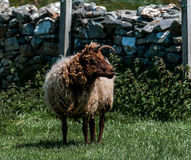 Moutons de Loaghtan Photo stock