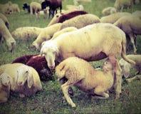 moutons de mère alimentant son agneau Photographie stock libre de droits