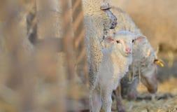 Moutons de mère avec l'agneau Photos stock
