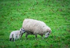 Moutons de mère et de chéri Images libres de droits