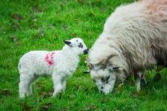 Moutons de mère et de chéri Photos stock