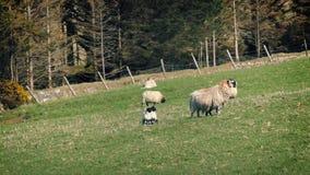 Moutons de mère menant ses agneaux dans le domaine d'été banque de vidéos