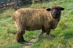 Moutons de mémoire vive. Photos libres de droits