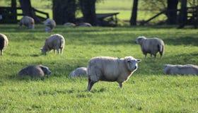 Moutons de Masticating dans le domaine de riz Photos stock