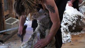 Moutons de Merino étant tondus banque de vidéos