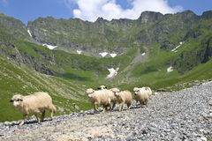 Moutons de montagne Photo libre de droits