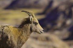 Moutons de montagne Photos libres de droits