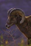 Moutons de montagne Image stock