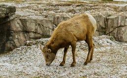 Moutons de montagne Photographie stock libre de droits