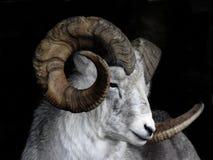 Moutons de montagne Photo stock