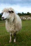 moutons de montagne photographie stock