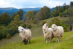 moutons de montagne photo libre de droits