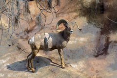 Moutons de montagne Image libre de droits