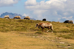 Moutons de montagne Photo stock