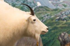 Moutons de montagne blancs Images libres de droits