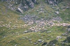 moutons de montagne carpathienne en été - effet de film de vintage Photo stock